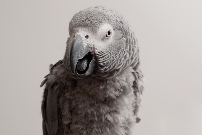 African Grey Parrot 2014 12 16