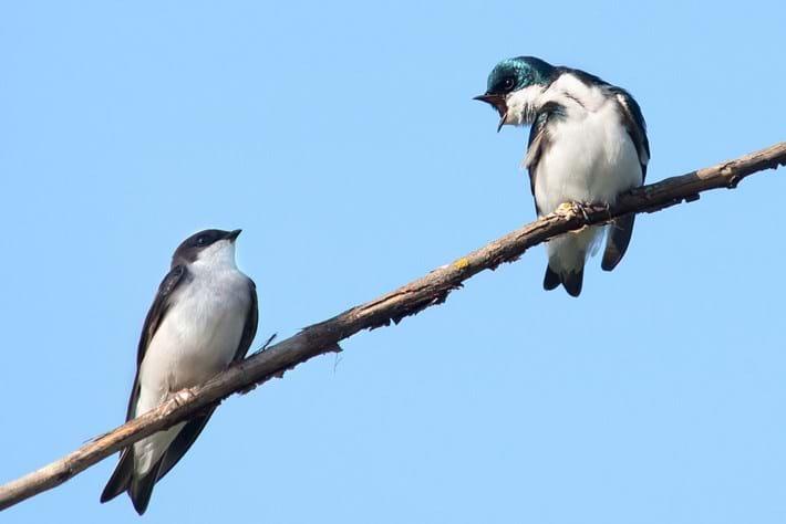 swallows talking_2014_12_16