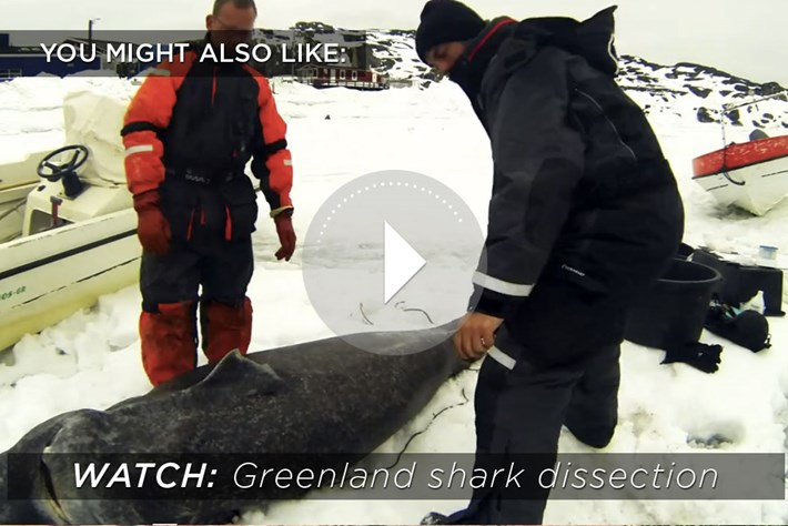 greenland shark-related-2014-12-17