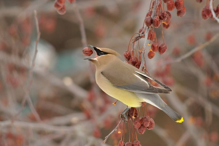 Cedar Waxwings Drunk 2014 12 23
