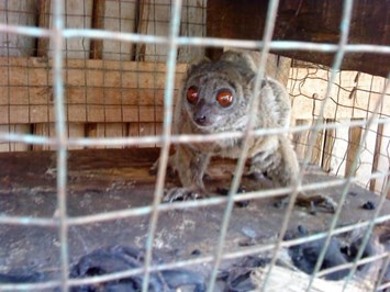 Caged _lemur _2014_01_06