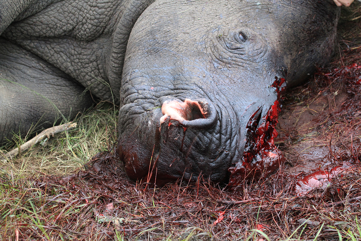rhinoceros poaching Follow the mail & guardian's coverage of the battle against rhino poaching.