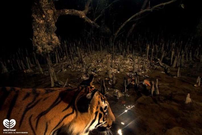 Tiger Mangrove 2015 01 15