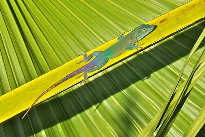 anolis lizard_2015_01_19