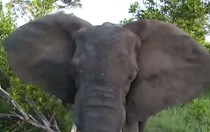 Another vehicle comes out worse for wear in this hair-raising elephant encounter