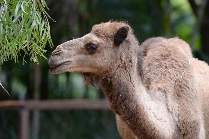 possum-camel-2015-1-20