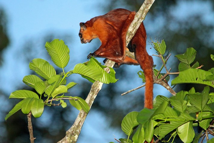 Giant Red Flying Squirrel 2015 01 21
