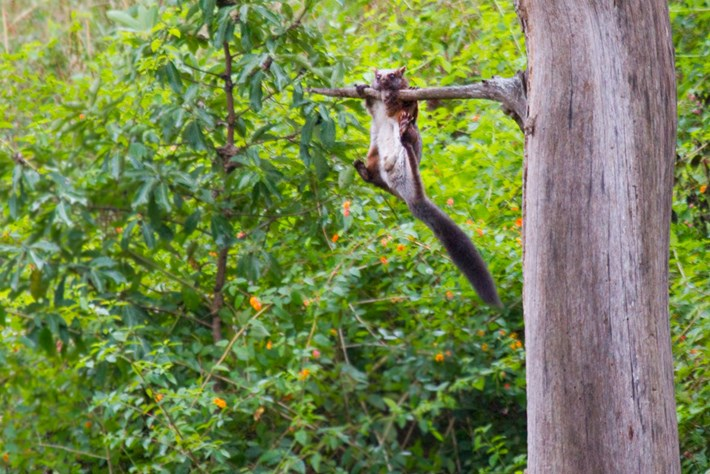 Indian Giant Flying Squirrel 2015 01 21