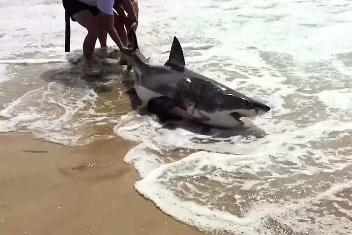 Great white shark on beach 2015_01_27