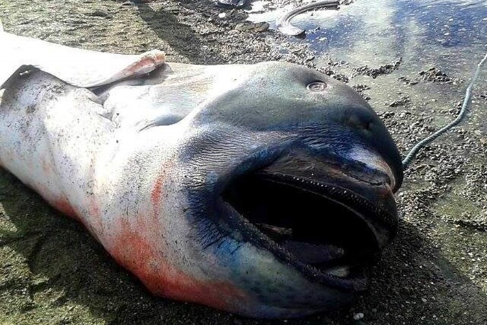 megamouth shark-page-2015-1-28