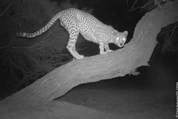 Cheetah-2-2015-2-28