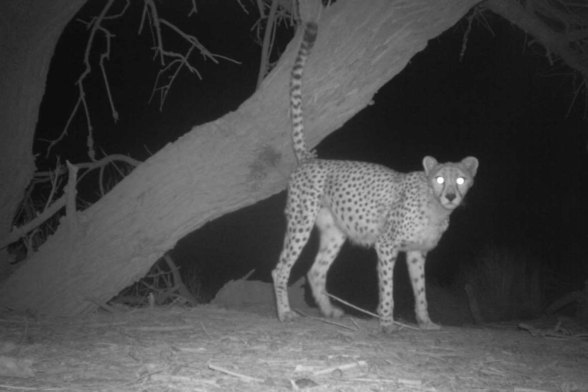 New photos offer rare glimpse of the mysterious Saharan Cheetah