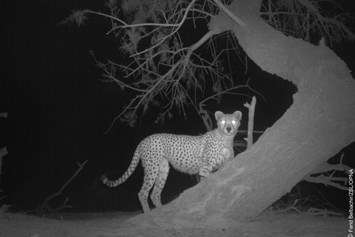 Cheetah-3-2015-2-28