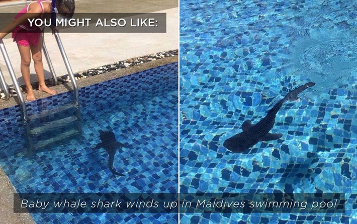 2015 01 30 Whale Shark Related Content