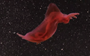 Dancing sea cucumber spotted in the deep sea