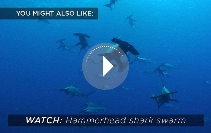 2015 02 04 Hammerhead Shark Swarm Related Content