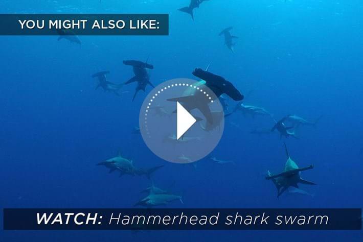 2015 02 04 Hammerhead Shark Swarm Related Content