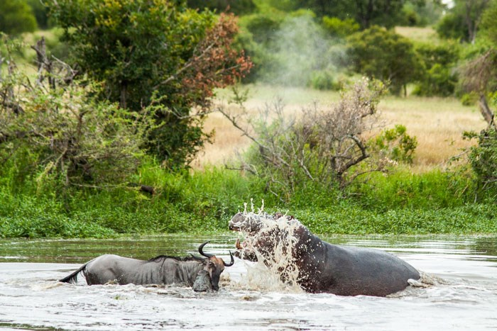Wildbeest Croc Hippo 2 Londolozi 2015 02 04