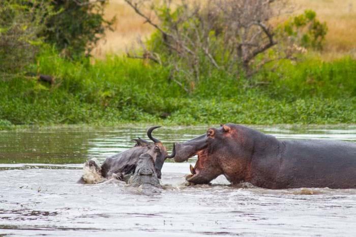 Wildbeest Croc Hippo Londolozi 2015 02 04