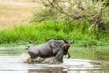 Wildbeest Croc Londolozi 2015 02 04