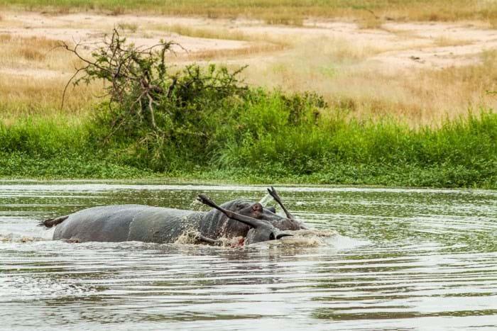 Wildbeest Hippo 2 Londolozi 2015 02 04