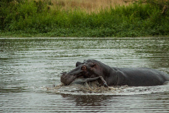 Wildbeest Hippo 3 Londolozi 2015 02 04