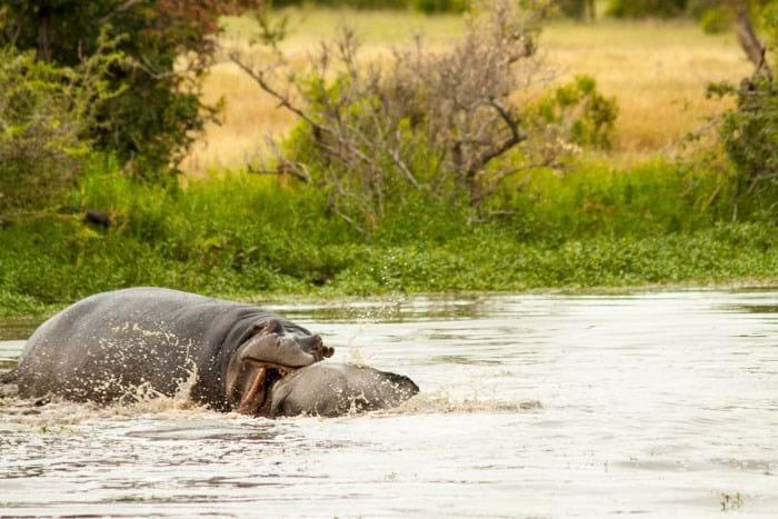 Wildbeest Hippo Londolozi 2015 02 04
