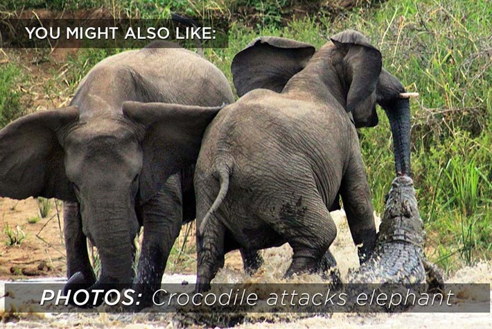 2015 02 04 Crocodile Elephant Related Content