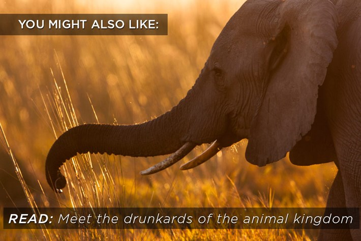 Related Content Drunk Animals 2015 02 10