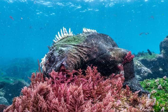 Marine iguanas-4-2015-2-12