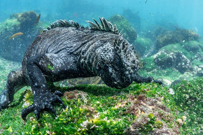 Marine iguanas-5-2015-2-12