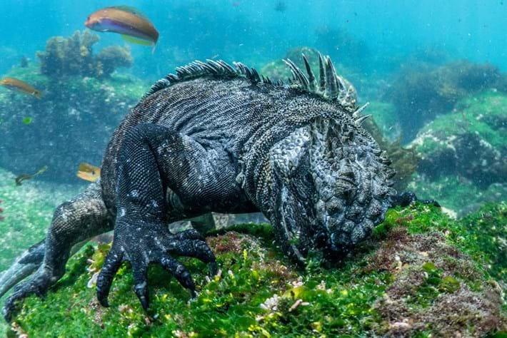 Iguana 8