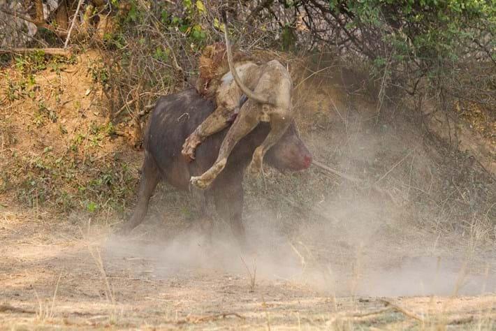 Lion Vs Buffalo 2 2015 02 13