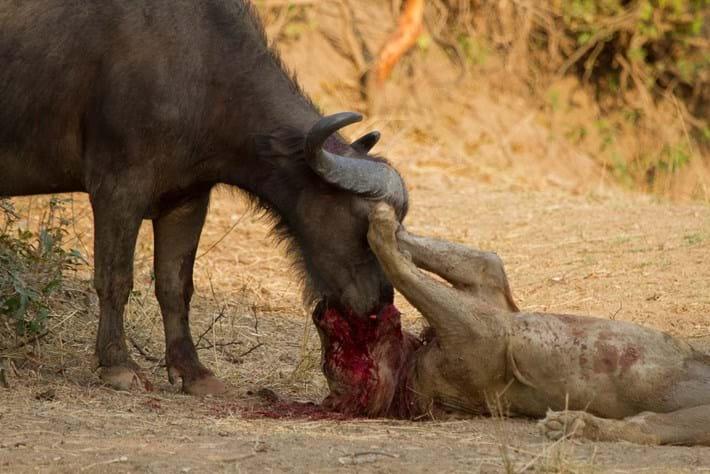 Lion Vs Buffalo 3 2015 02 13