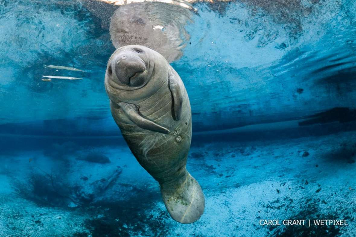 In photos: Swimming with manatees in Florida | film-and ...