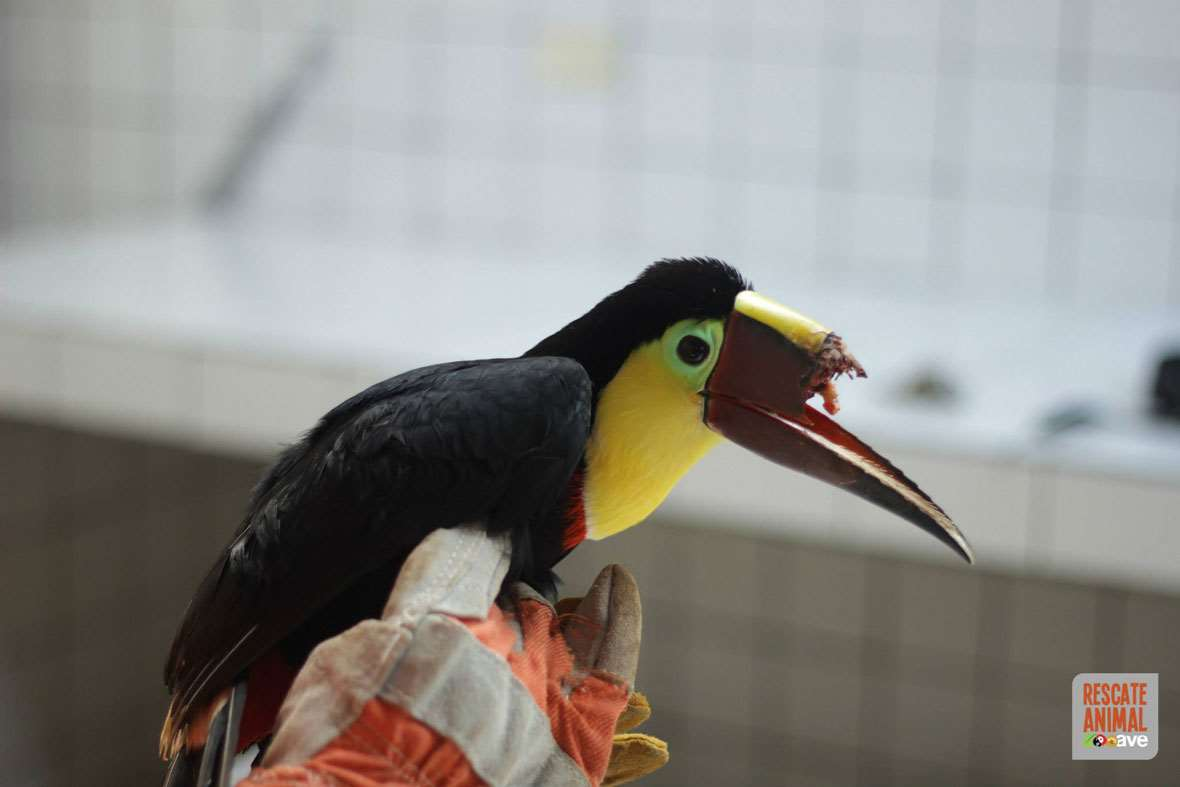 After a cruel attack, an injured toucan will get its beak back, thanks to 3D printing