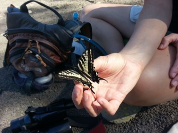 Pale Swallowtail Butterfly 2015 02 19
