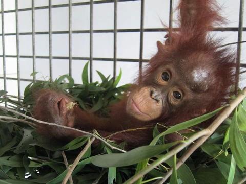 Lisa Orangutan Rescue 2015 02 23