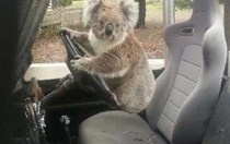 Koala carjacking? Nope, just a marsupial hanging out in a Land Rover