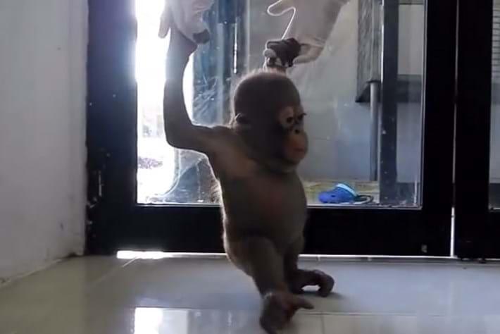 Budi -orangutan -rescue _2015_02_25