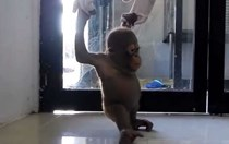 Rescued baby orangutan 'Budi' is a few brave steps closer to recovery