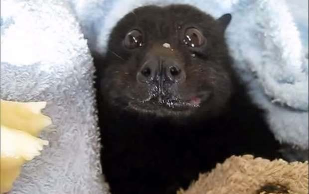 It's a bat eating a banana ... and it's absolutely adorable!