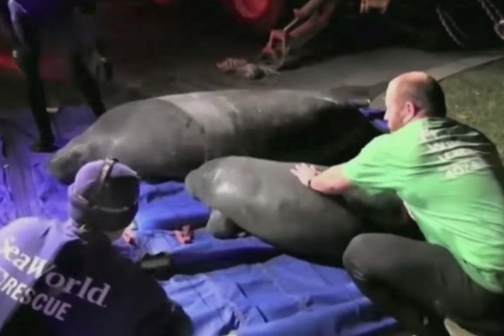 manatee rescue-page-2015-3-2
