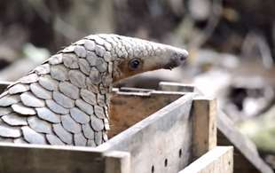 Watch: Tiny Sunda pangolin released after rescue from illegal trade