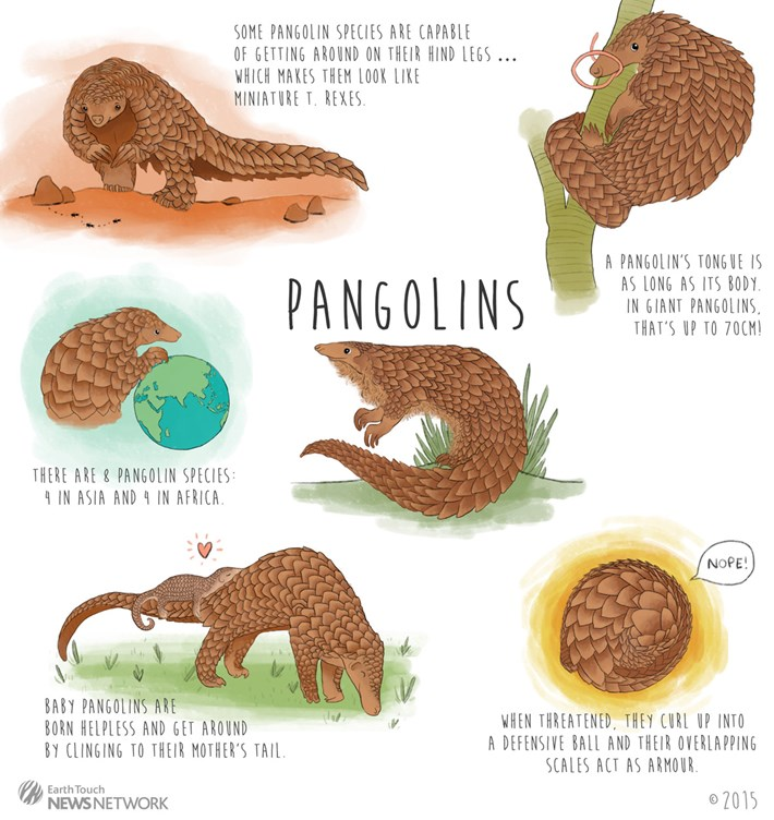 Pangolin Facts Infographic 2015 03 03