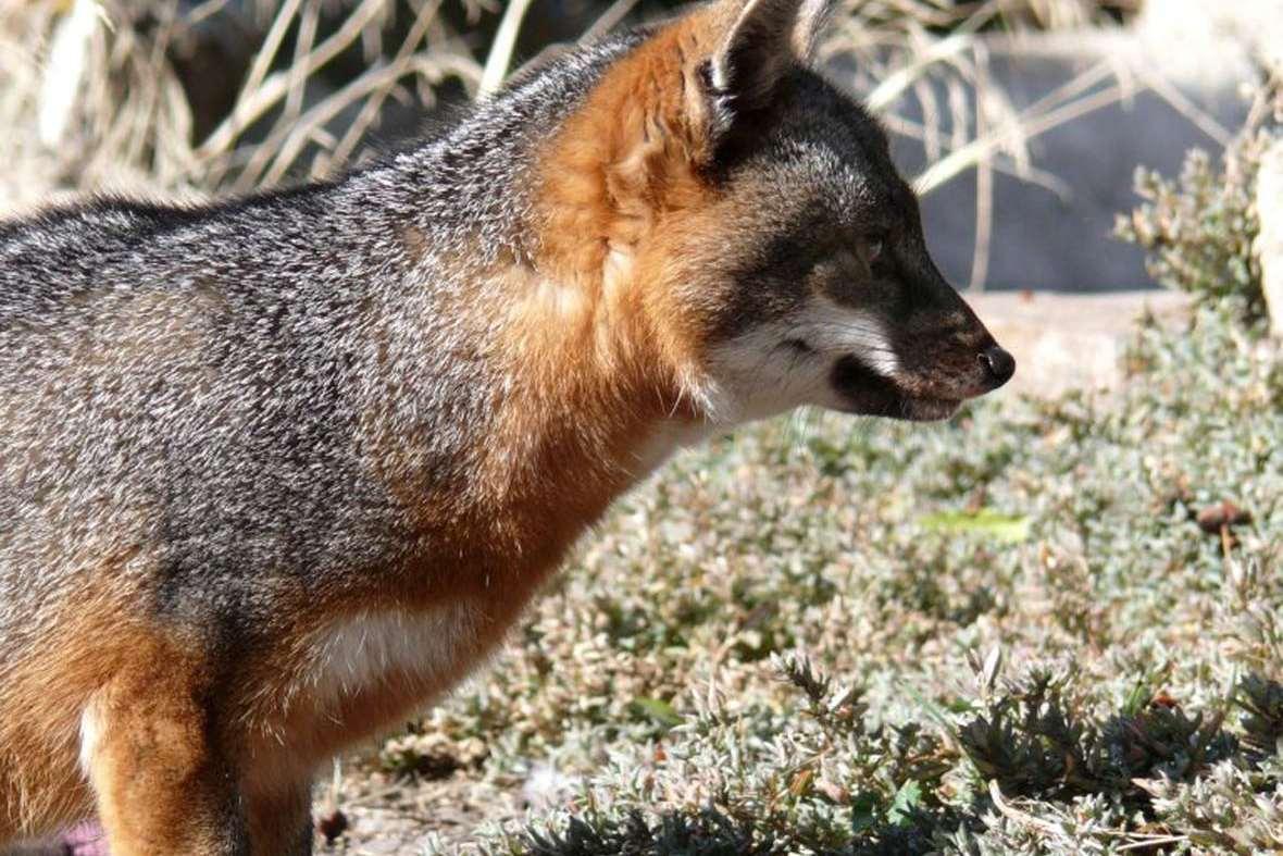 fox-closeup-2015-3-3