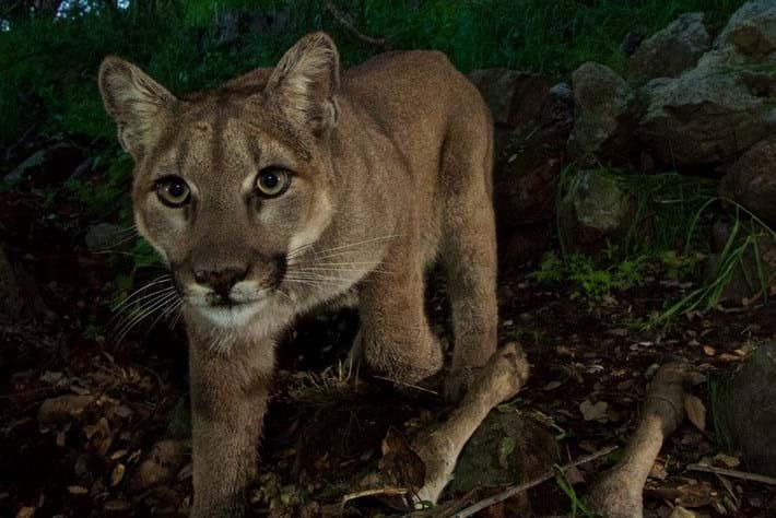 Cougar kitten-8-2015-3-4