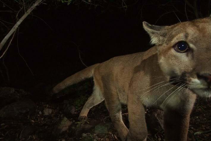 Cougar kitten-11-2015-3-4