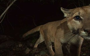 Cause for celebration: Los Angeles mountain lion survives crossing eight-lane highway