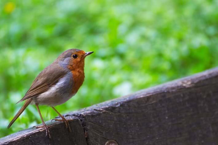 European robin 2015-03-09